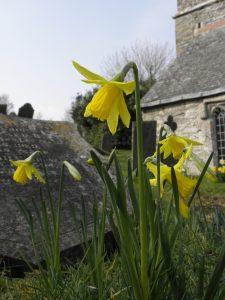 Daffodils brighten the churchyard at Lanteglos by Fowey Church, Cornwall