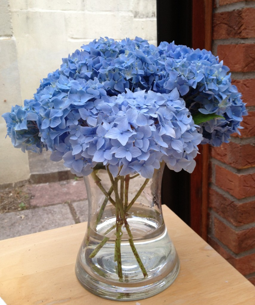 Blue hydrangeas cut from our neighbour's garden.